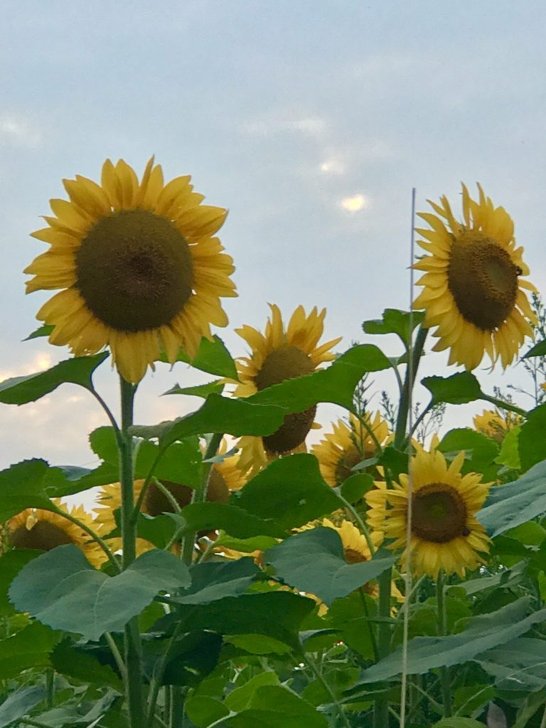 Sunflower Fields Forever