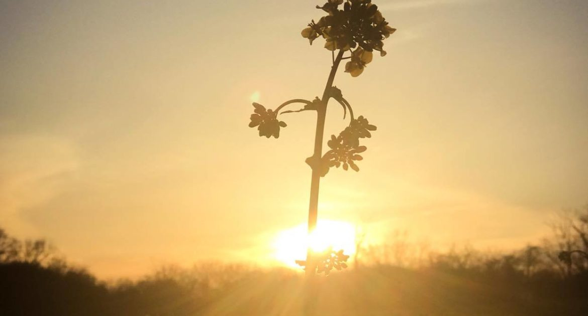 silhouette of a wildflower backlit against a sunset
